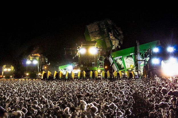 foto viral de un campo de algodón en las redes sociales