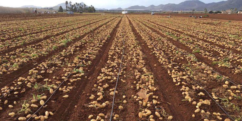 sembrar patatas con motoazada